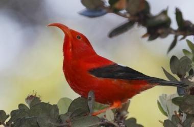'I'iwi bird by Jack Jeffries