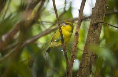 Maui's Native Forest Birds