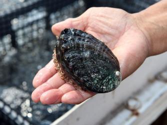 Abalone 1