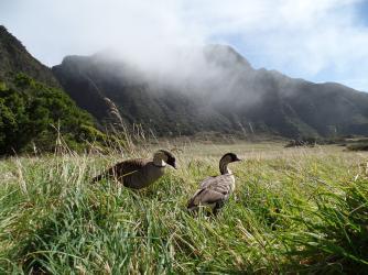 Nene Geese - Nene Geese inside Haleakala Crater